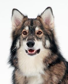 The Utonagan is a mix of three dogs-the Alaskan Malamute, German Shepherd, and Siberian Husky-that resembles a wolf. It is medium to large sized and well-muscled.