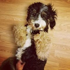 I just met you and this is crazy. But here's my tummy So rub it maybe? : @luluthebernedoodle #tummyrubs #callmemaybe