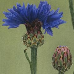 From Grandiflora, Sydney Thistles, Peonies Bouquet, Flowers Garden, Ecology, Botany, Still Life, Sydney, Bloom, Luxury