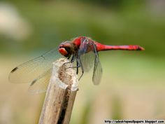 Dragonfly Collection | Dragonfly Animal Desktop Wallpaper Collection
