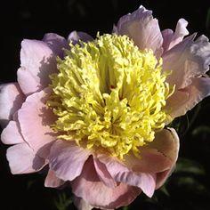 Paeonia lactiflora 'Westerner'