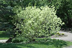 Heptacodium Miconioides Seven Son S Flower Small Tree Or