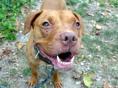 **MURDERED**  HAZEL - A1082361     ****MY MASTER'S LANDLADY HAD ME BROUGHT TO THE SHELTER.  BUT I WAS A GOOD DOG AND MY MASTER DID NOT WANT ME TO GO.