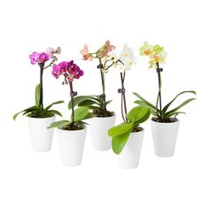 PHALAENOPSIS Plant with pot, Orchid, assorted colors $7.99