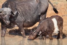 Water buffalo calf with a white band – possibly partial leucism – in Africa (2013). - photo by Juan Pinto, via AfricaGeographic