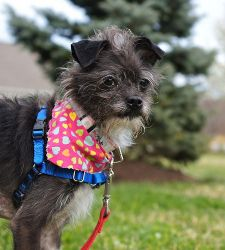 Pip is an adoptable Affenpinscher Dog in Scituate, MA. Pip is an adorable little dog with a lot of personality. She will make you laugh as she tries to show you the world according to Pip! She has a s...