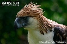 Philippine Eagle portrait Hunting in pairs, one Philippine eagle will act as a decoy, while the other swoops in with a surprise attack on a group of monkeys