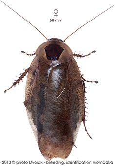 Rhabdoblatta imperatrix Roaches, Bugs, Character Design, Animals, Animales, Animaux, Beetles, Animal, Animais