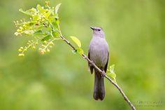 Gray Catbird, Hermitage Park, Edmonton, Alberta