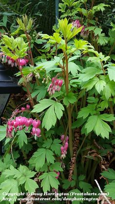 First bleeding hearts of 2016! Great plant for shady areas