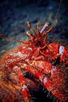 *Hermit crab (by nicolas.terry)