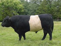 Belted Galloway    The 'Belties', like six other color variants, presumably originated centuries ago from the pure black Galloway. They were mentioned as early as the start of the 19th century