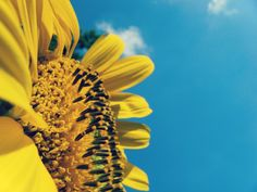 Our beloved Summer Sky. Let a fragrance transport you to sunflower fields in the sunshine. Professor, Sunflower Photography, Beauty Planet, Sunflower Pictures, Lord Is My Strength, Joy Of The Lord, Sunflower Fields, Sunflower Garden, High Resolution Wallpapers
