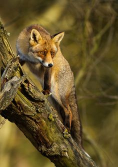 Climbing red fox (by Menno Schaefer)