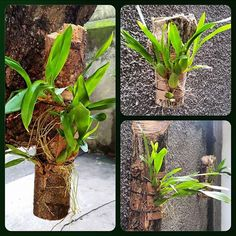 are orchids poisonous to cats Orchids Garden, Orchid Plants, Air Plants, Indoor Plants, Growing Orchids, Growing Flowers, Planting Flowers, Hanging Orchid, Dracaena Plant