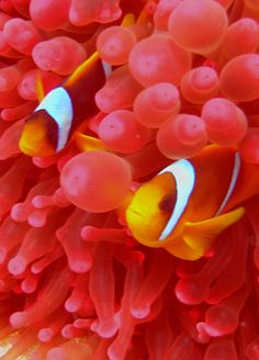 Anemone and Clownfish at Koh Tao Thailand