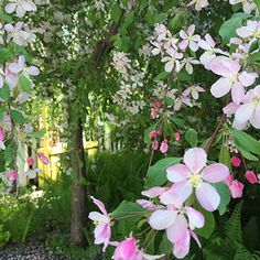 Secret Heart Gallery | Maiden Rock, WI Japanese Weeping Crab Apple in full bloom. ©2015. Photo by Liz Pangerl
