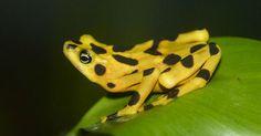 Sapo-dourado-do-Panamá. Conheça este e outros animais ameaçados de extinção http://abr.ai/1gPb7F6