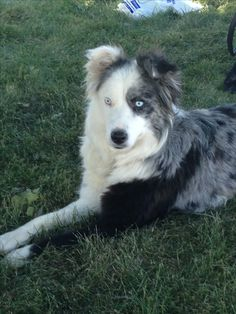 Blue Merle Border Collie Bee