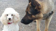 Zwergpudel Kiera Na, kleene… Lust auf ein Date? #Hund: Kiera / Rasse: #Zwergpudel      Mehr Fotos: https://magazin.dogs-2-love.com/foto/zwergpudel-kiera/ Foto, Hunde, Liebe