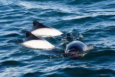 Toninas y delfin en Puerto Deseado