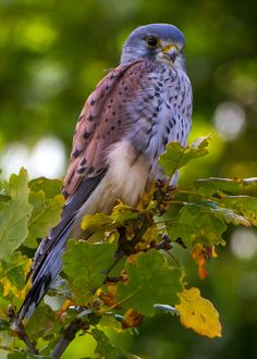 Kestrel Falcon