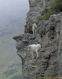 Mountain goats climbing peak in Glacier National Park.
