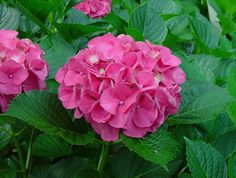 H. macrophylla 'Masja' - pink mophead bloom