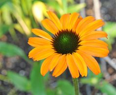 Margaret Roach is neck and neck with Jane Brocket as my idol.   echinacea tangerine dream