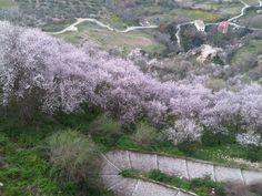 Almendros en febrero, Ronda (Málaga)