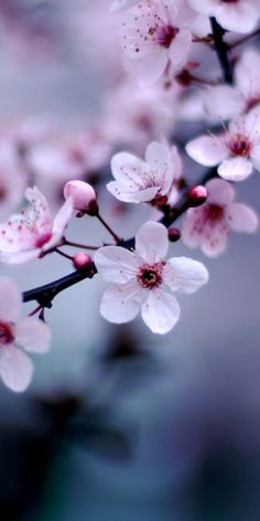 Cherry Blossoms                                                                                                                                                                                 More