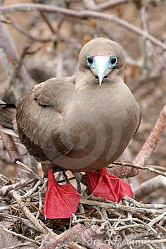 Red-footed Booby, Galapagos    Morten Elm