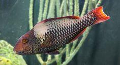 bicolor parrotfish...