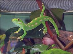 Northland Green Gecko (New Zealand) Reptiles And Amphibians, Animals And Pets, New Zealand, Turtle, Birds, Green, Pictures, Photos, Geckos