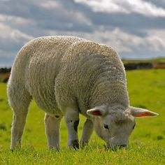 """""""My sheep listen to my voice."""".. Jesus said. But he also foretold:""""The love of the greater number will cool off..."""".Matthew 24:12 Personal Bible study and regular prayer will help keep your love for God alive. We show we are sheeplike by obeying his commandments. 1 John 5:3"""