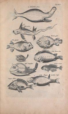 "https://flic.kr/p/e6uYqX | n258_w1150 | Historiae naturalis de quadrupedibus libri :. Amstelodami :Apud Ioannem Iacobi Fil. Schipper,MDCLVII [1657]. <a href=""http://biodiversitylibrary.org/page/40962771"" rel=""nofollow"">biodiversitylibrary.org/page/40962771</a>"