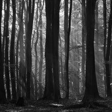 Fototapet - Fairy Forest - b/w