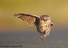 A wild little owl in a rush lands with one wing open and one wing closed in Lancashire, England. More photos: 2015 Comedy Wildlife Photography Awards Funny Animal Photos, Funny Photos, Funny Animals, Cute Animals, Wild Animals, Funniest Pictures, Baby Animals, Owl Photos, Owl Pictures