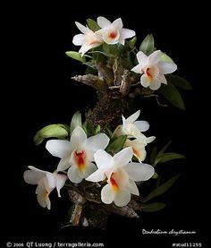 Orchid: Dendrobium chrystianum