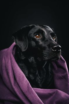 Pfotentick Hundefotografie Studio Shooting Juli  #labrador #winter #shooting #schal #hundefotografie