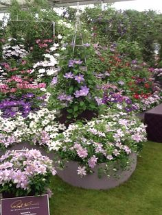 Clematis climbers and ground cover