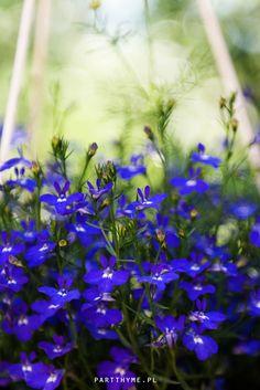 lobelia - kwiaty doniczkowe na tarasie / blue #flowers