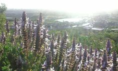 Picture of Lavender with the sea in the back.