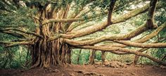 Banyan Tree In Haleakala National Park, Hawaii