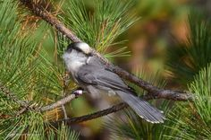 Gray Jay/Canada JayWhiskey Jack Gray Jay, Algonquin Park, Highlands, Canada, Animals, Animales, Animaux, Scottish Highlands, Animal