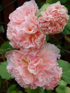 Hollyhock (Alcea rosea) 'Double Apricot'