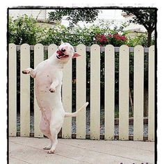 Complete Happiness!!! #Bull #Terrier #Dog