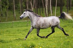 Today, Arabian bloodlines are found in almost every modern breed of riding horse.