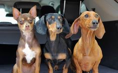 Animals And Pets, Cute Animals, Miniature Dachshunds, Little Twin Stars, Beautiful Dogs, Youtubers, Pet Dogs, Bff, Memes
