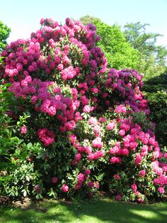 Rhodendrons at Larchfield.